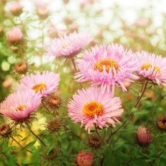 Flores de crisântemo rosa no jardim