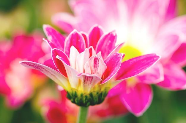 Flores de crisântemo rosa