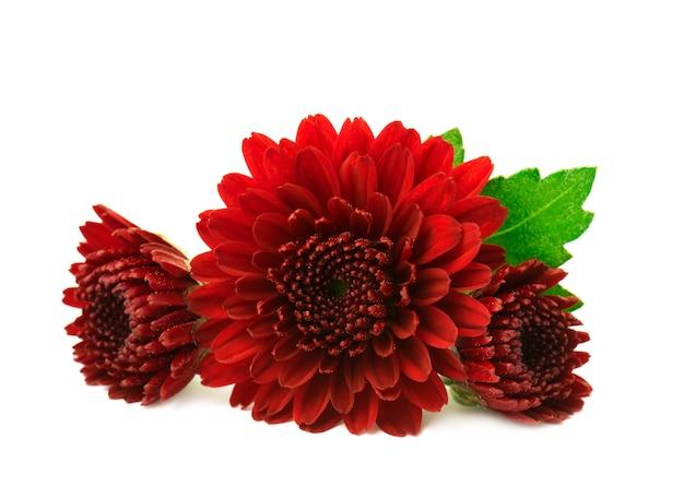 Flores de crisântemo vermelho isoladas no branco