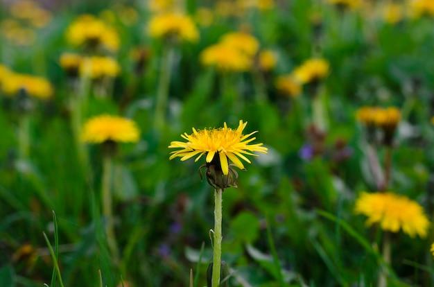 Flores de dente-de-leão amarelas no prado da primavera