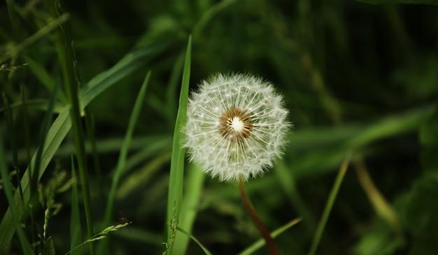 Flores de dente de leão com folhas na grama verde