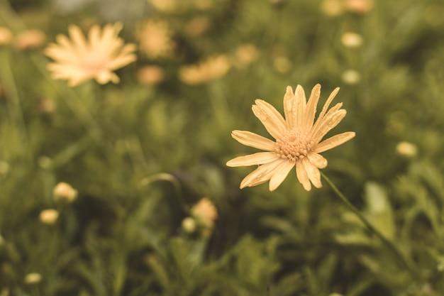 Flores de dentes de leão na grama em um dia ensolarado de primavera