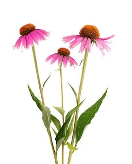 Flores de echinacea purpurea isoladas no fundo branco. planta medicinal à base de plantas.