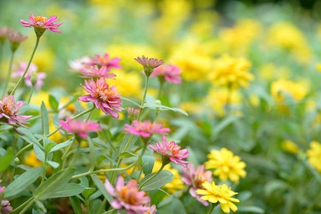 Flores de enxofre cosmos