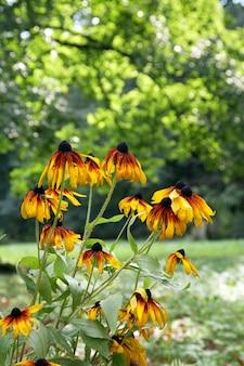 Flores de equinácea amarelo-laranja desabrochando no parque da cidade de verão