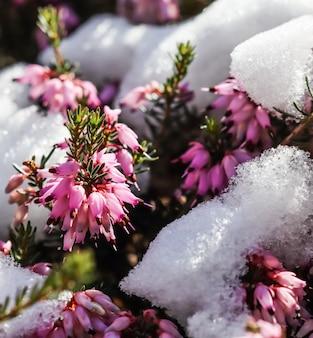 Flores de erica carnea rosa desabrochando, charneca de inverno e neve no jardim floral no início da primavera