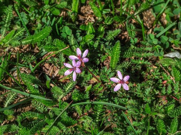 Flores de erodium stevenii também conhecidas como geranium cicutarium. uma planta rara com uma faixa estreita listada no livro vermelho da rússia.