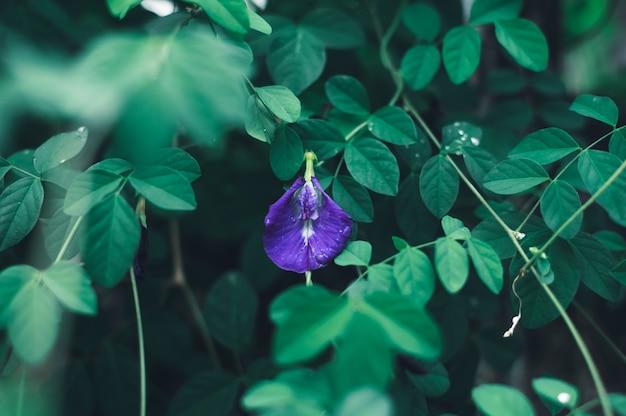 Flores de ervilha azul no fundo da natureza