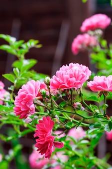 Flores de escalar rosas closeup em dia de verão ensolarado