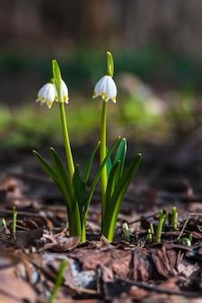 Flores de floco de neve de primavera na floresta leucojum vernum flor de nó de primavera grande floco de neve