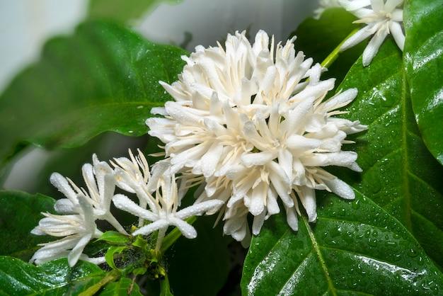 Flores de flor de café branco no fundo desfocado close-up