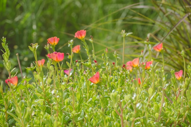 Flores de flores de leão de plantas