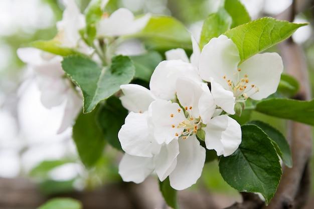 Flores de florescência do close-up da árvore de maçã em um fundo da folha verde com bokeh. floração da primavera