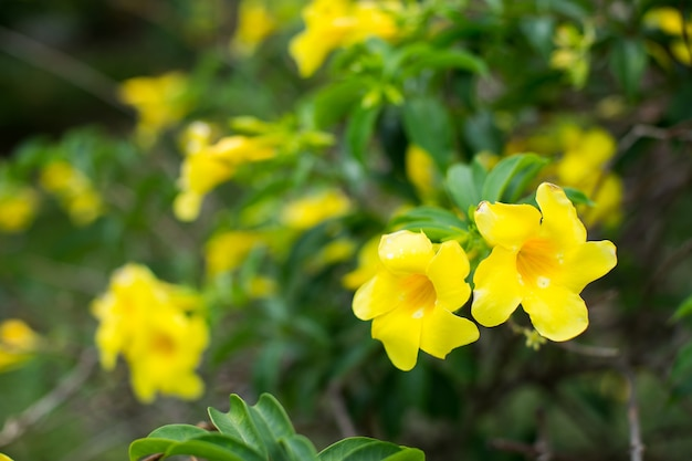 Flores de forsítia em um arbusto com folhas verdes.