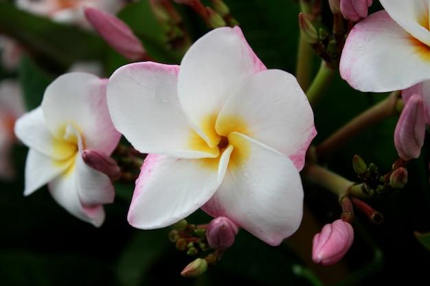 Flores de frangipani branco e rosa