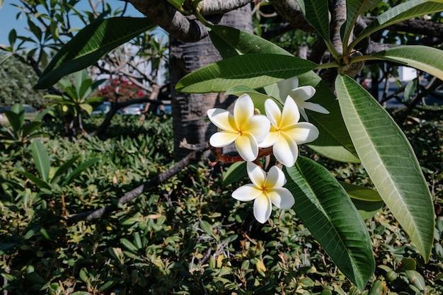 Flores de frangipani feche a bela plumeria. tropical incrível de frangipani tailandês em fundo livre de folhas verdes. vista lateral floral do spa e terapia da tailândia