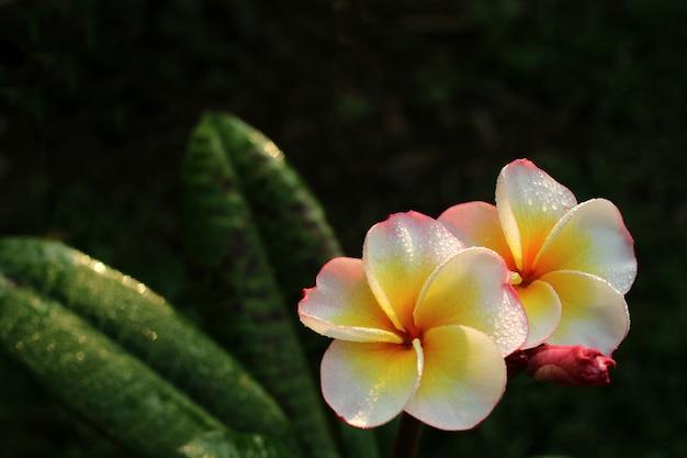 Flores de frangipani na luz da manhã.