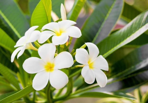 Flores de frangipani