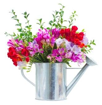 Flores de frésia azul, violeta e vermelha em regador isolado no branco