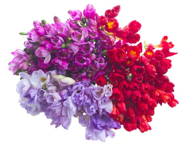 Flores de frésia azul, violeta e vermelha isoladas no branco