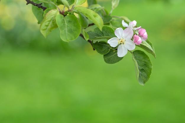 Flores de galho de árvore de maçã sobre fundo desfocado verde.