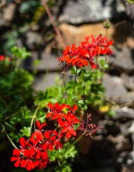 Flores de gerânio de hera vermelha (pelargonium peltatum) no jardim em dia ensolarado