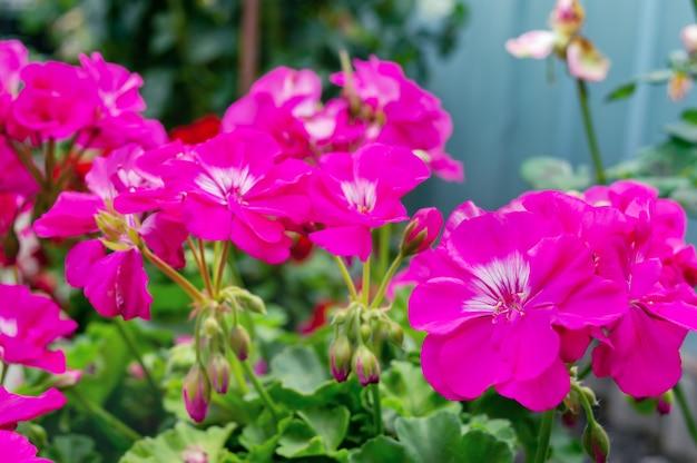 Flores de gerânio rosa crescem ao ar livre, close-up. foco seletivo.