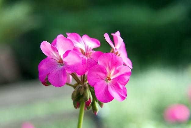 Flores de gerânio rosa