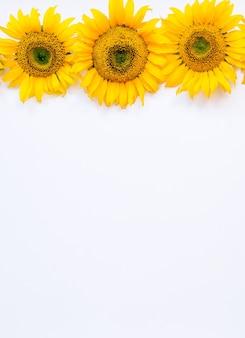 Flores de girassol em um fundo branco. fundo de verão com espaço para texto.