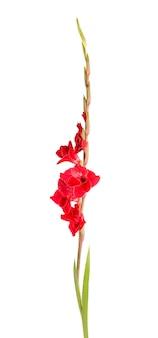 Flores de gladíolo vermelho isoladas no fundo branco. lindas flores de verão.