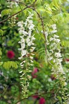 Flores de glicínias brancas