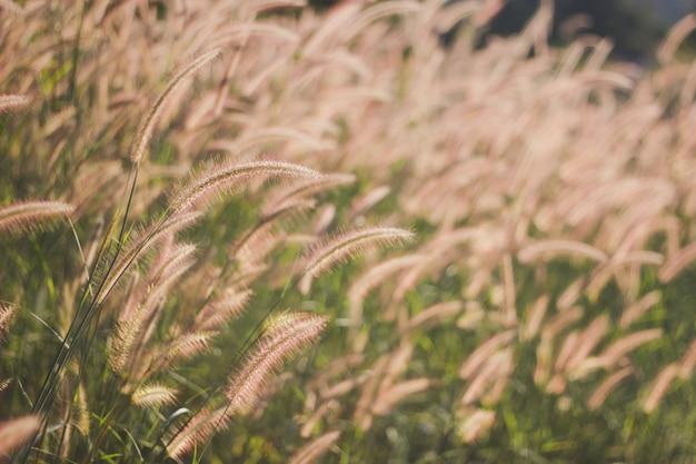 Flores de grama marrom ao pôr do sol
