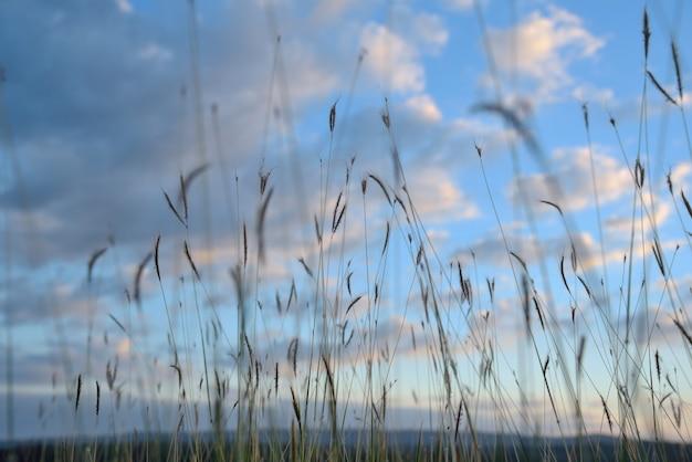 Flores de grama na natureza no fundo do céu azul