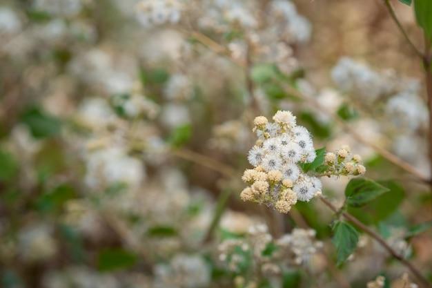 Flores de grama selvagem.