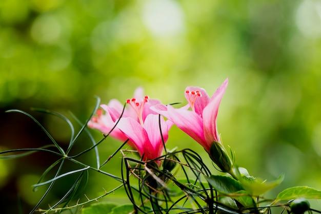 Flores de hibisco em fundo natural.