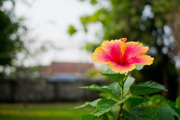 Flores de hibisco, natureza