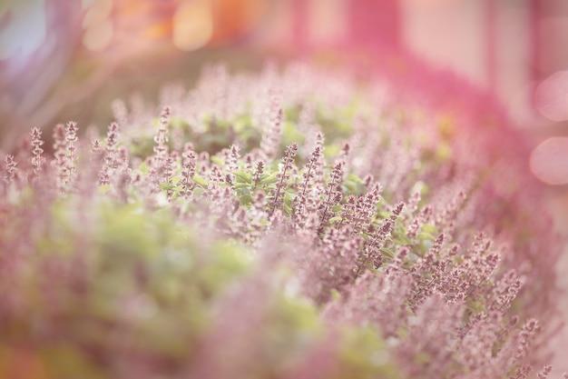 Flores de hortelã no jardim