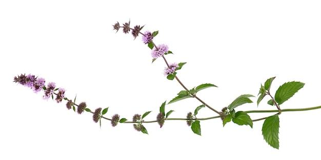 Flores de hortelã-pimenta isoladas no fundo branco ramo de hortelã ervas medicinais