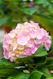 Flores de hortênsia em flor em uma loja de plantas