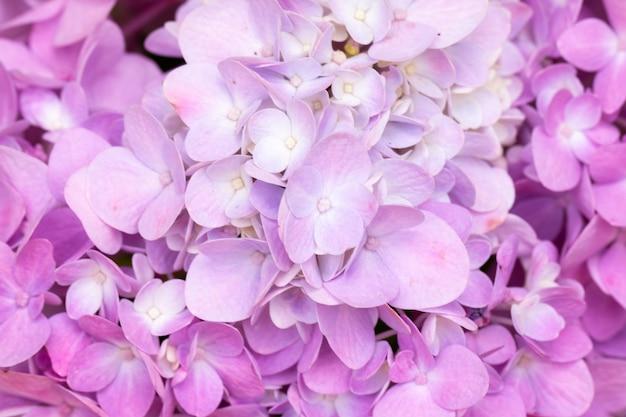 Flores de hortênsia estão florescendo na primavera