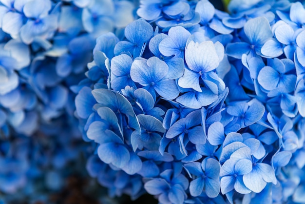 Flores de hortênsia no jardim