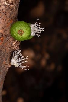Flores de jabuticaba da espécie plinia cauliflora