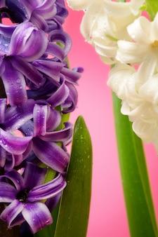 Flores de jacinto close-up