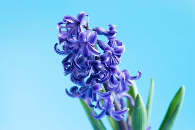 Flores de jacinto comum ou jacinto holandês em um fundo azul suave. o conceito de olá primavera. conceito mínimo. cartão postal, fundo floral, espaço de cópia