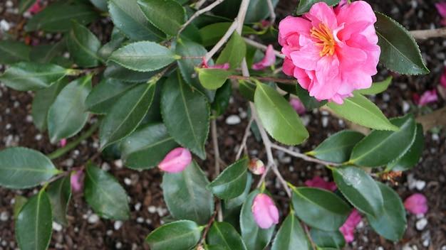 Flores de jardim ornamentais jardinagem doméstica na califórnia eua floricultura botânica decorativa flora flor suculenta planta cores