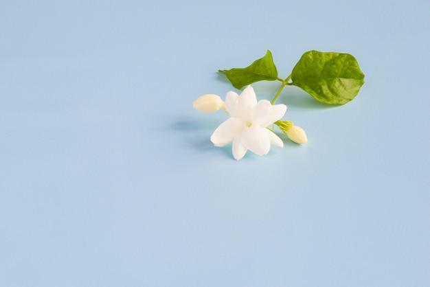 Flores de jasmim brancas com folhas verdes sobre fundo azul lindo, com espaço de cópia