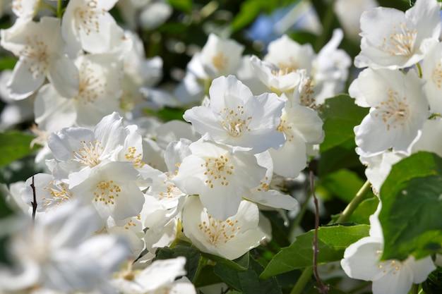Flores de jasmim brancas na temporada de verão no verão