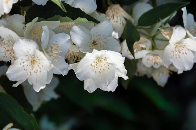 Flores de jasmim branco na temporada de verão no verão
