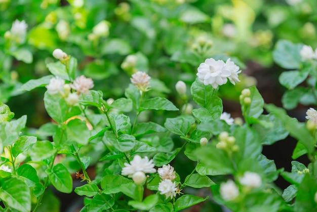 Flores de jasmim em um jardim