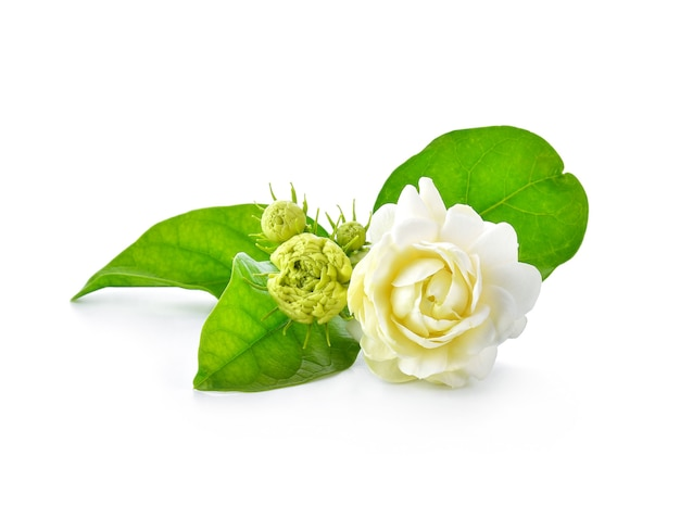 Flores de jasmim isoladas em fundo branco